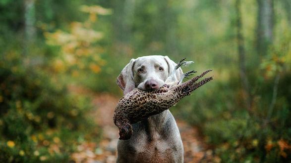 Обои Охотничья собака с добычей в пасти