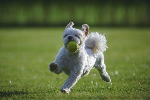 Обои Собака ши-тцу играет с мячом