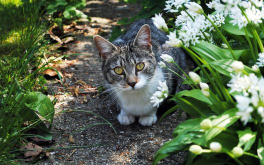 Обои Серо-белый полосатый кот, освещенный солнцем, сидит на дорожке среди травы и цветов, и смотрит вверх