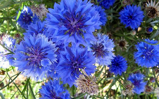 Обои Ярко-синие васильки, освещенные летним солнцем