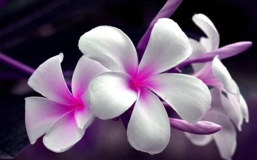 Обои Букет нежный бело-розовых цветов плюмерии