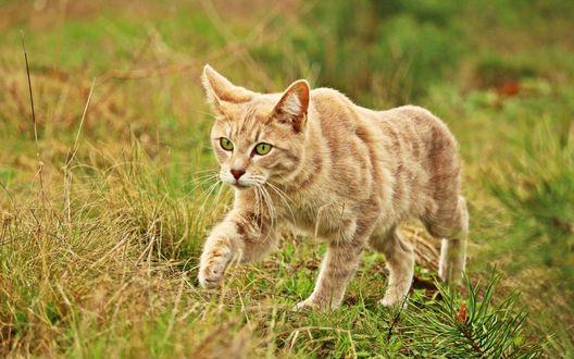 Обои Рыжий кот куда-то целеустремленно идет по траве