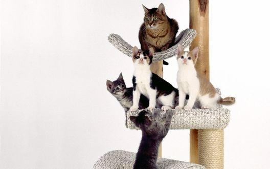 Обои Котята резвятся на своем дереве-подставке, а кошка наблюдает сверху
