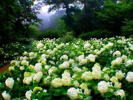 Обои Цветущие белые бульдонежи