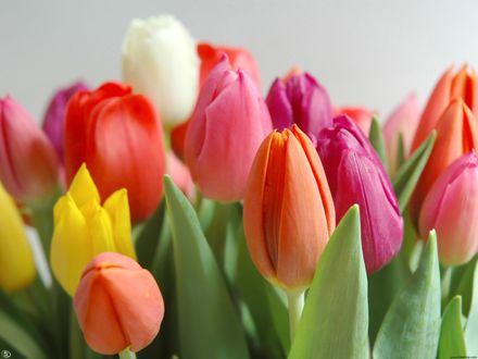 Обои Красные, розовые и желтые тюльпаны