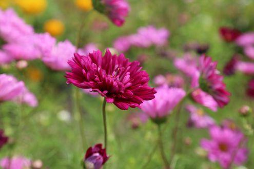 Обои Розовый цветок на фоне цветов космеи