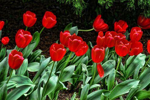 Обои Красные весенние тюльпаны, фотограф Kyung Woo Kim