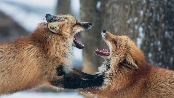 Обои Две лисицы играют в лесу