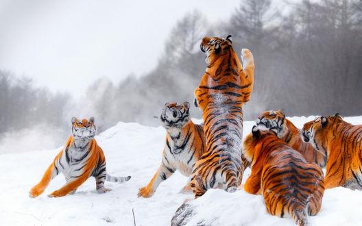 Обои Тигры играют на заснеженной поляне у леса
