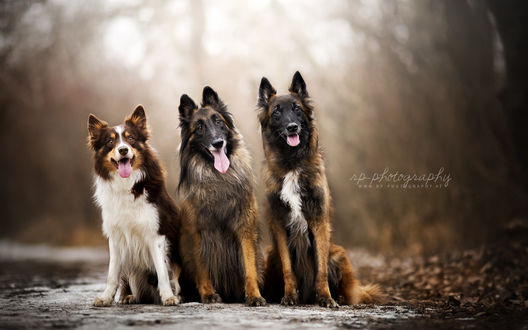 Обои Три собаки сидят на тропинке в осеннем парке