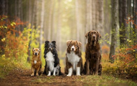 Обои Собаки разных пород сидят на тропинке в осеннем лесу