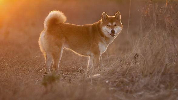 Обои Собака породы Акита-ину стоит на поле, которое освещает солнце