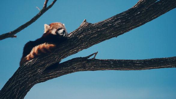Обои Красная панда лежит на дереве
