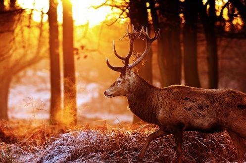 Обои Олень в осеннем лесу