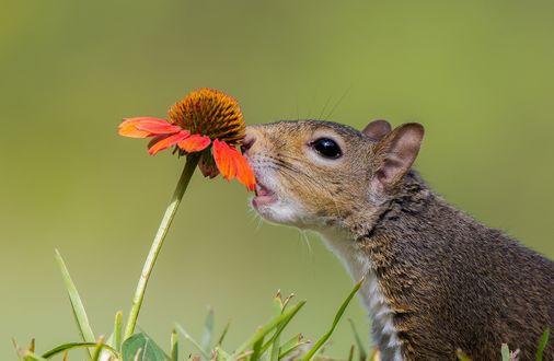 Обои Белочка пробует цветок