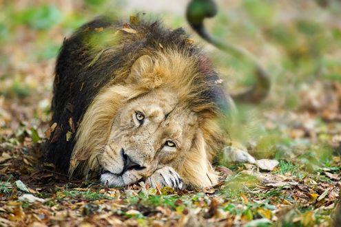 Обои Лев лежит в траве среди сухих листьев