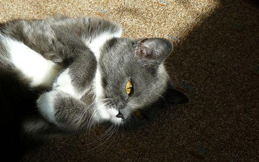Обои Бело-серый котенок лежит на одеяле, поджав лапки