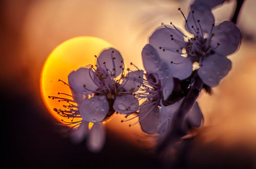 Обои Весенняя цветущая веточка на фоне солнца, фотограф Лилия