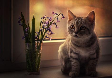 Обои Кот сидит на подоконнике окна у стакана с гиацинтами, Фотограф Лилия