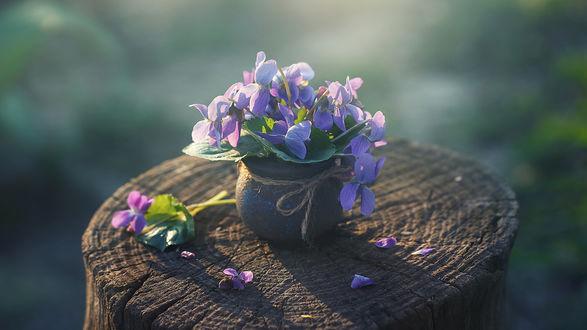 Обои Цветы анютины глазки в горшочке стоят на пне. Фотограф Инна Сухова