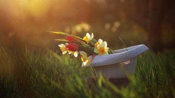 Обои Нарциссы и тюльпаны в шляпе на траве