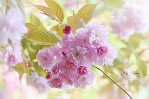 Обои Весенняя цветущая веточка сакуры, фотограф Jacky Parker