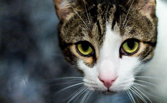 Обои Кошачья мордашка с зелеными глазками