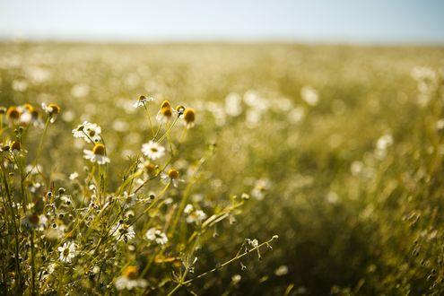 Обои Полевые цветы в поле