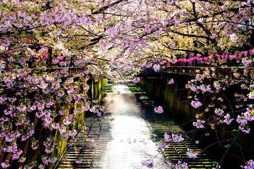 Обои Цветущие вишни вдоль реки