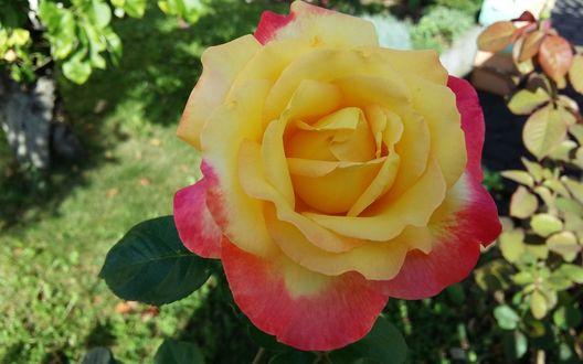 Обои Желто-розовый цветок розы сорта Восточный Экспресс