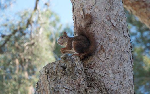 Обои Белка сидит на обрубке ветки на дереве и что-то держит в лапках