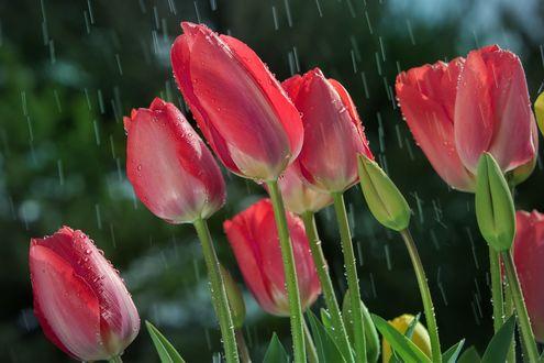 Обои Розовые тюльпаны под дождем, фотограф William Lee