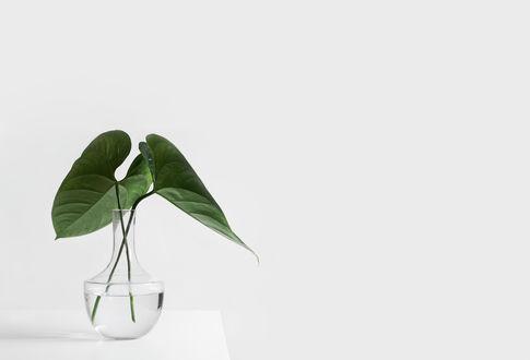 Обои Листья стоят в вазе с водой, белый фон