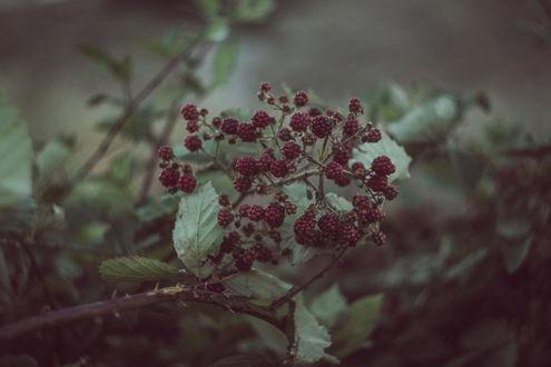 Обои Дикая малина на размытом фоне листьев