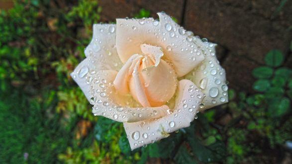 Обои Нежно розовая роза в каплях воды