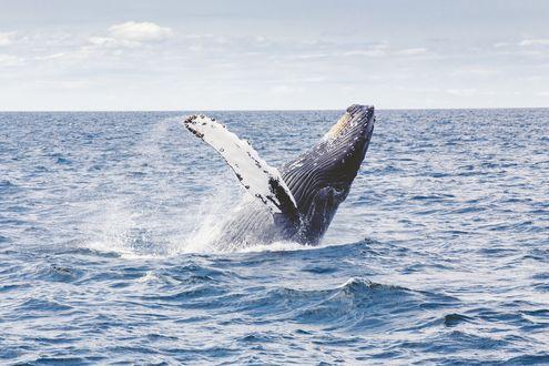 Обои Горбатый кит выпрыгивает из воды
