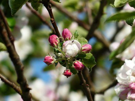 Обои Весенняя цветущая ветка яблони
