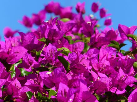 Обои Много цветов бугенвиллеи