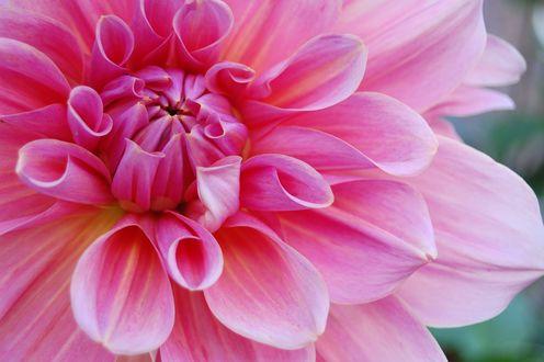 Обои Розовый цветок крупным планом