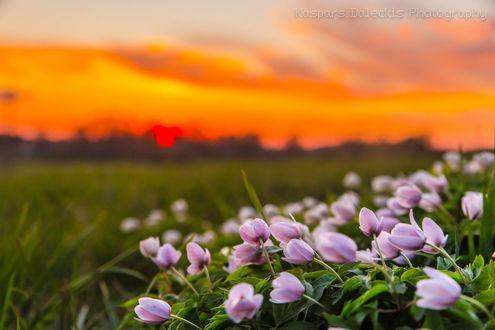 Обои Сиреневые тюльпаны в поле, by Kaspars Daleckis