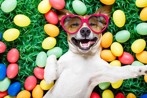 Обои Довольная собака в очках в виде сердец лежит среди крашеных яиц