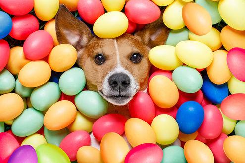 Обои Собака лежит среди крашеных яиц