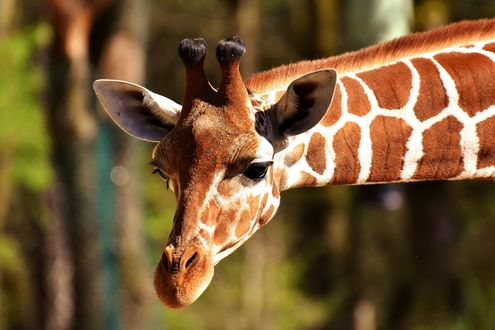 Обои Голова жирафа крупным планом