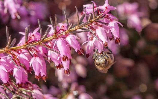 Обои На цветке вереска сидит пчела