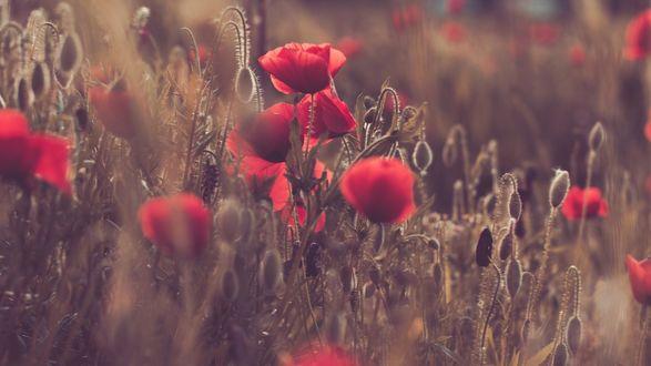 Обои Красные маки на фоне полуразмытого серо-зеленого поля в приглушенном свете