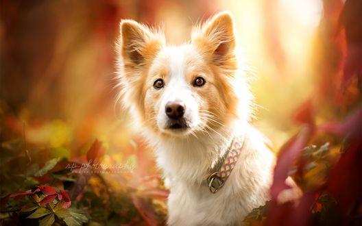 Обои Бело-рыжая собака в ошейнике на размытом фоне природы