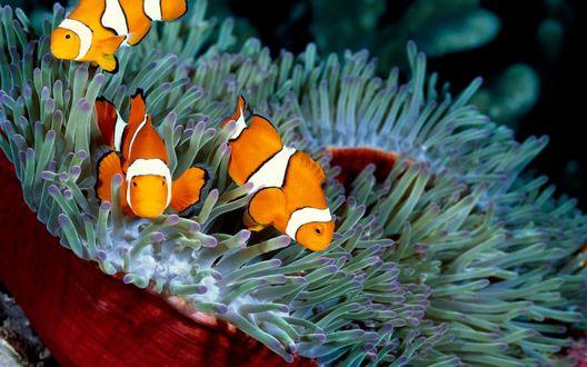 Обои Три рыбки-клоуна среди водорослей на размытом фоне