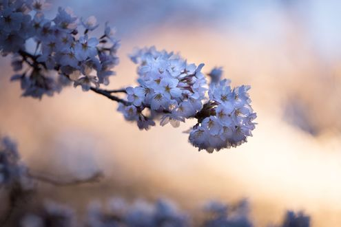 Обои Белые цветы на ветке весной