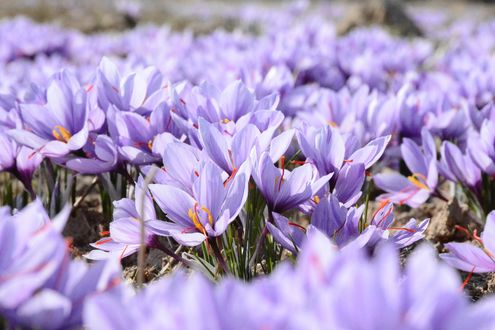 Обои Много фиолетовых цветков шафрана