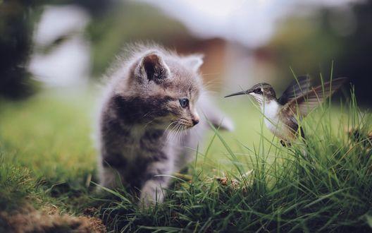 Обои Полосатый котенок смотрит на птичку колибри